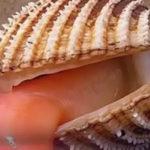 « Языкастая » устрица